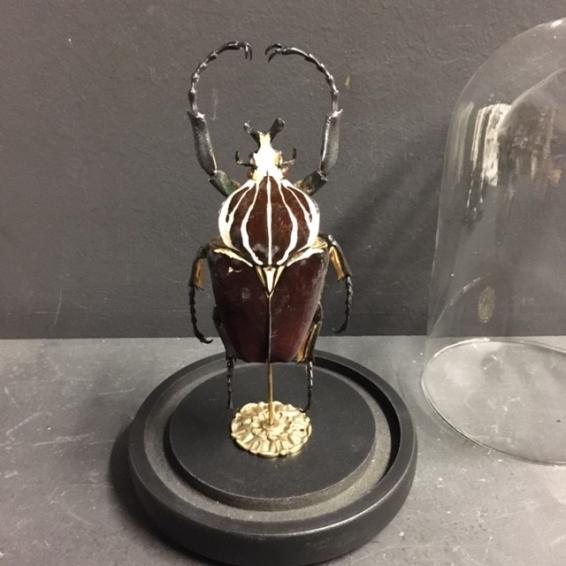 Scarab under a globe : Goliathus goliatus male