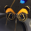 Little butterfly glass dome: Callicore excelsior