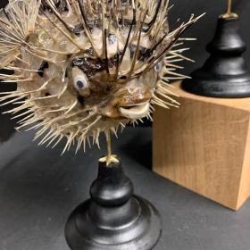 Porcupinefish on wooden pedestal