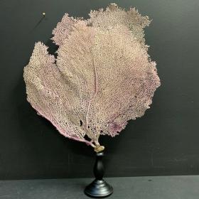 Gorgone jaune - Gorgonia Violacea sur socle