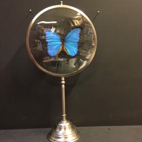 Naturalist Magnifier: Morpho Didius