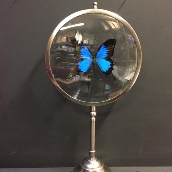 Naturalist Magnifier: Papilio Ulysses