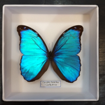 Entomological box : Blue Morpho