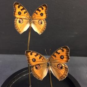 Little butterfly glass dome: Precis almana