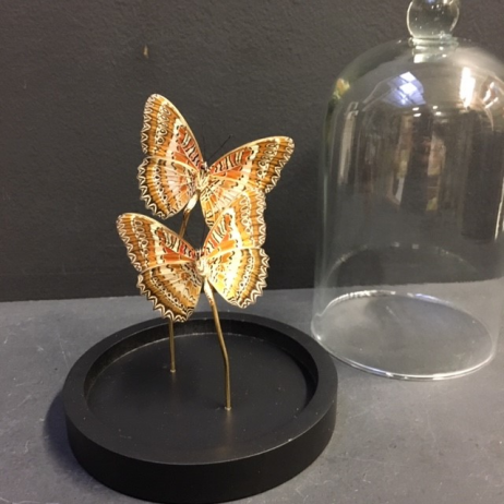 Little butterfly glass dome: Cethosia biblis