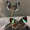 Little butterfly glass dome: Perisama