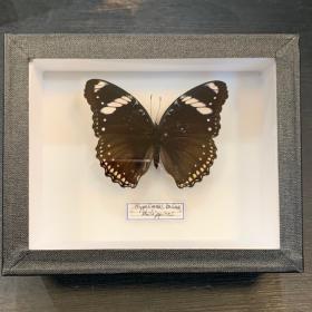 Entomological butterfly box: Hypolimnas Bolina