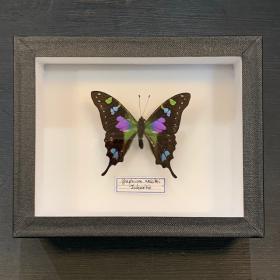 Boite entomologique: Graphium weiskei (12x15cm)