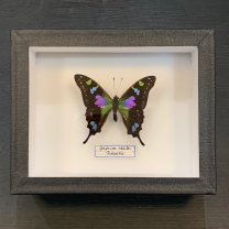 Entomological Box - Purple Spotted Swallowtail