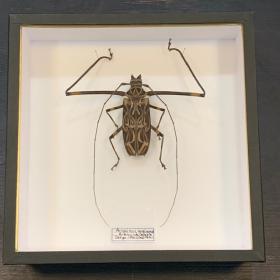 Harlequin beetle - Acrocinus longimanus - longhorned beetle: entomological box
