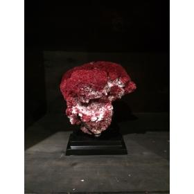 Corail rouge Tubipora Musica