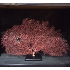 Gorgone rouge vif - Acabaria biserialis