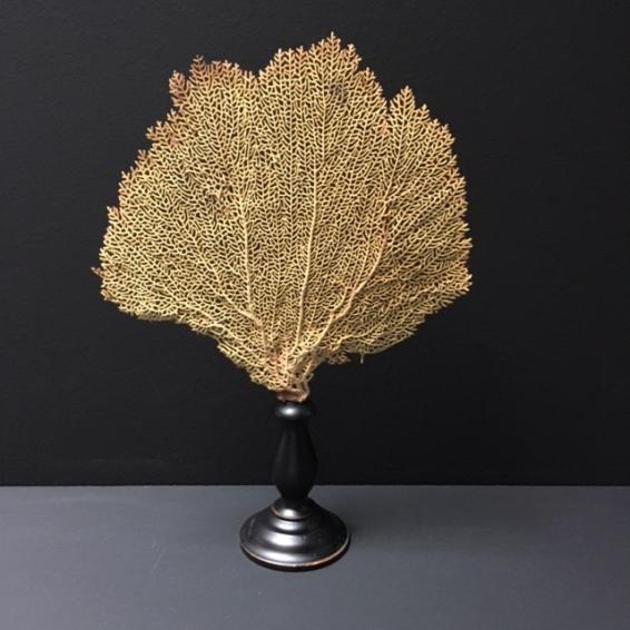Gorgone jaune - Gorgonia Flabellum