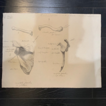 Anatomical and osteological drawing 1912-1913