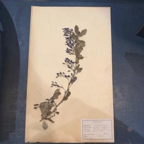 Old mounted herb branch - herbarium plank