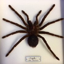 Entomological Box: Tarantula (unidentified species)