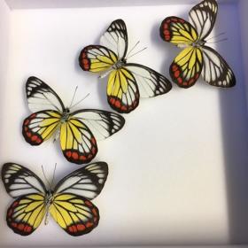 Composition papillons - Delias hyparete