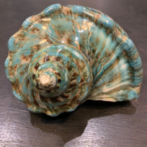 Turbo Marmoratus of Madagascar (Burgo) - shell