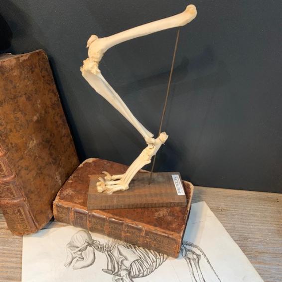 Bird skeleton: black-headed bulbul under glass bell