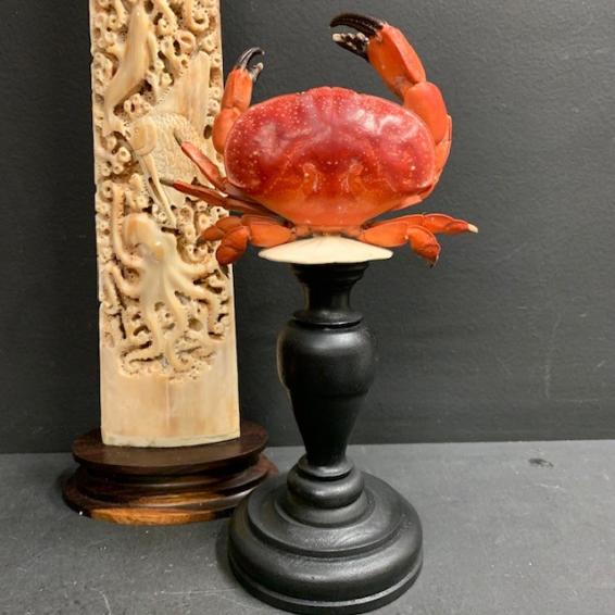 Daldorfia horrida crab - Stone crab on pedestal