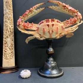 Crabe géant -Charybdis feriata des philippines sur socle - Crabe à la croix
