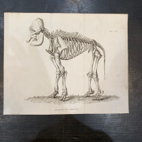 Skeleton of elephant - Engraving 1812 - BUFFON English version by Smellie