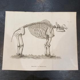 Squelette de Mastodonte Gravure ancienne 1812 - BUFFON version anglaise