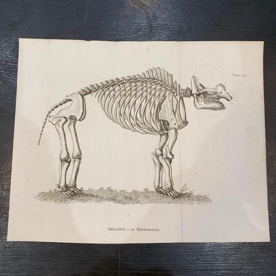 Skeleton of Mastodonte - Engraving 1812 - BUFFON English version by Smellie