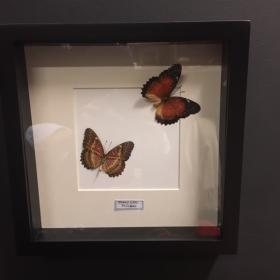 Entomological Box - Cethosia biblis