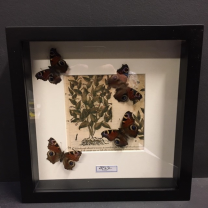 Aglais Io - Peacock butterfly on XVI th century paper - Entomological frame