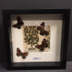 Entomological frame - Cymothoe sangaris on XVI th century paper