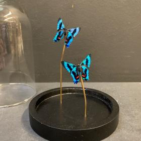 Petite cloche à papillon: Ancyluris Aulestes (envers)
