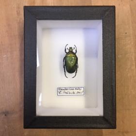 small Entomological Box - rhomborrhina mellyi