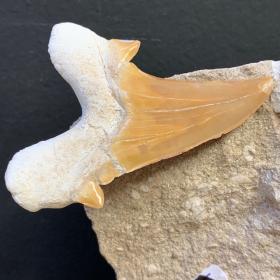 Shark tooth fossil: Otodus Obliquus 50 million years old