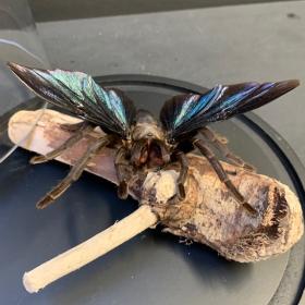 Chimère: Mygale volante - Volantem tarentula