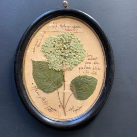 Véritable planche d'herbier encadré et calligraphié - Format ovale