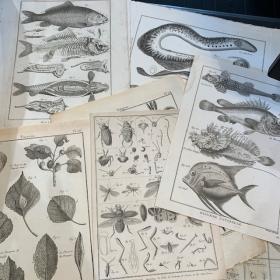 Gravure ancienne de Sciences Naturelles - 18ème siècle