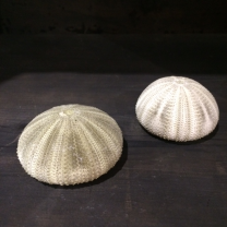 Test of anise green sea urchin