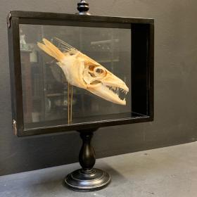 Barracuda de Martinique dans sa boîte reliquaire vitrée
