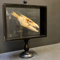Barracuda in it's glass reliquary box
