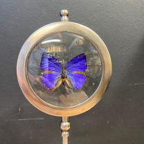 Butterfly in magnifying glass : Arhopala Herculina - Naturalist magnyfier