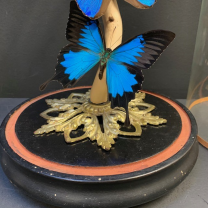 Globe with blue butterflies: Morpho menelaus and Papilio ulysses in ancient Napoleon III globe