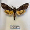 Entomological box- Acherontia styx / Death's head hawkmoth