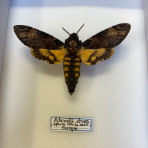 Entomological box- Acherontia atropos / Death's head hawkmoth