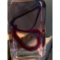 Diaphany: corn snake (Pantherophis guttatus) in jar - Biological preparation