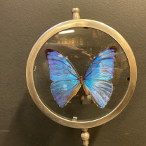 Butterfly in magnifying glass: Panacéa prola- Naturalist magnyfier