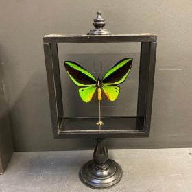Reliquary glass box - Ornithoptera Priamus Poseidon