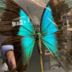 Reliquary: Papilio Peranthus adamantius