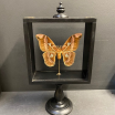Reliquary glass box - Rothschild aurota moth butterfly