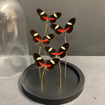 Flight of butterflies: Heliconius himera under glass